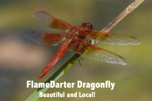FlameDarter Dragonfly wText